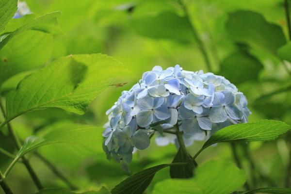 四季の森2016_アジサイ03.JPG