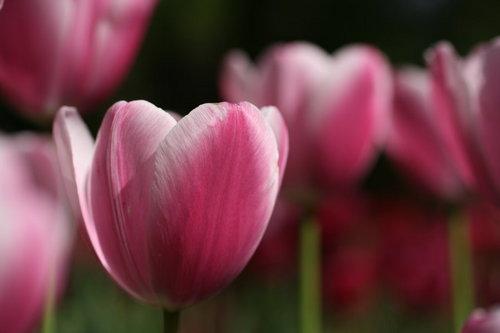 2014_04_27_tulip011.JPG