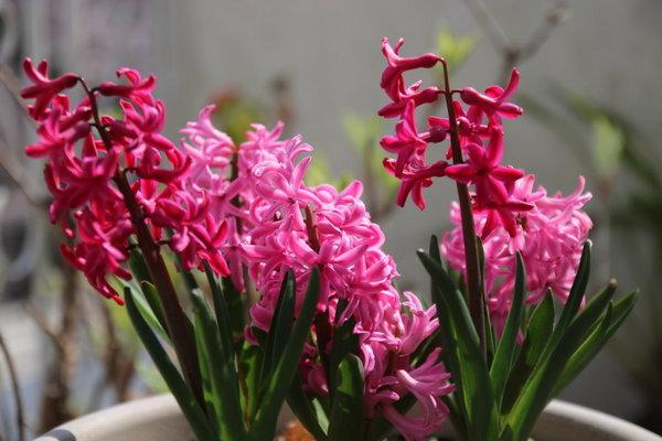 2018_03_29_Hyacinthus01.JPG