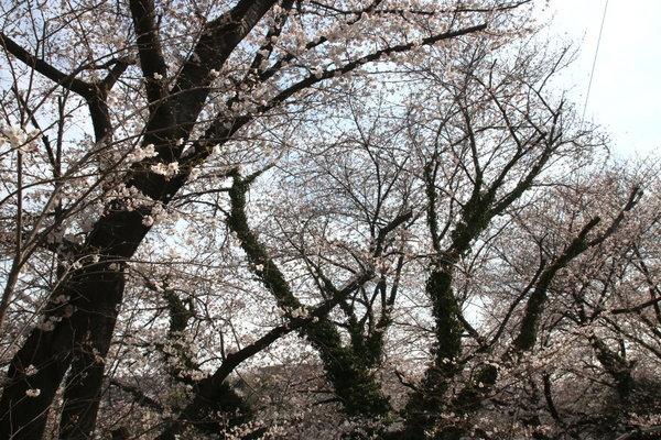 2018_03_29_sakura02.JPG