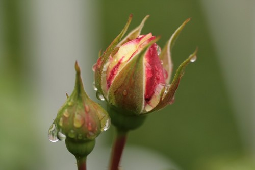 Rose_Le Petit Prince.JPG
