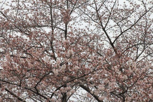 Sakura2016_0330_01.JPG